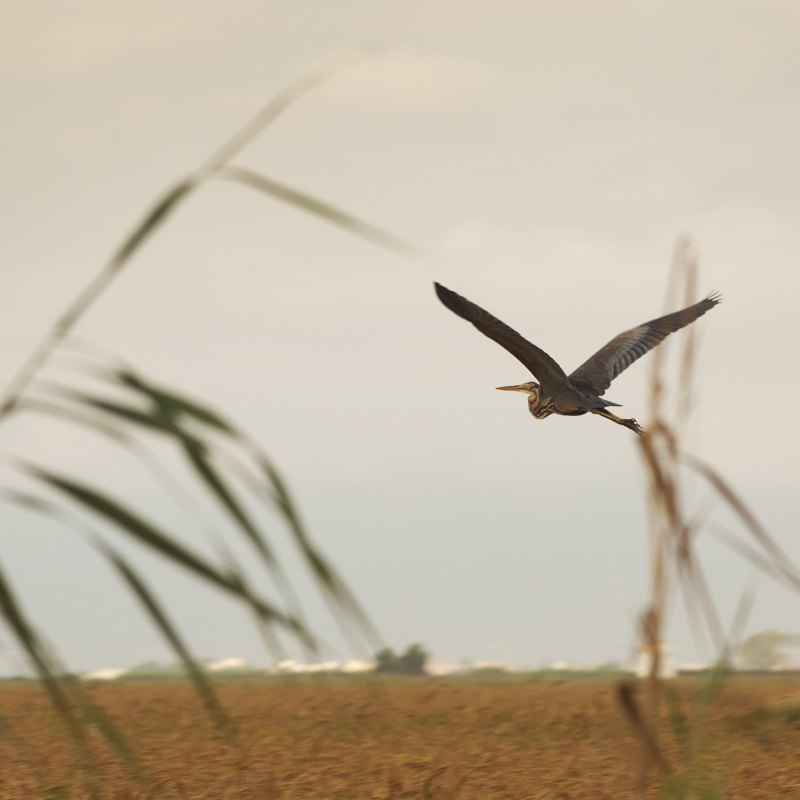 bird flying among rice paddies in the ebro delta